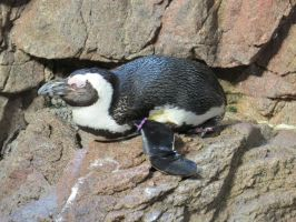 African Penguin Stock 9654 by sUpErWoLf--StOcK