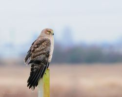 A Hawk by Raylau