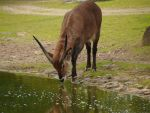 antelope at water by Nexu4