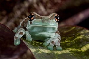 Amazon Milk Frog by mansaards