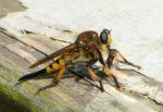 Robber fly eating by duggiehoo