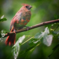 Baby Cardinal Steps Out by clippercarrillo