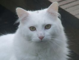 White Cat 1 by artgeza-photo
