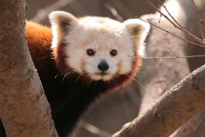 Red Panda Bear - 1 by Seductive-Stock