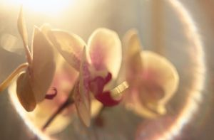 Soft Orchid II by piskieheart