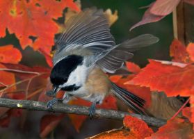 Autumn Chickadee by ariseandrejoice