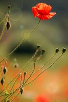 Field poppy flower by greatbelow2