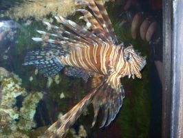 Lion Fish 2 by natureflowerstock