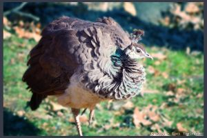 Ruffled Peahen by Vamppy