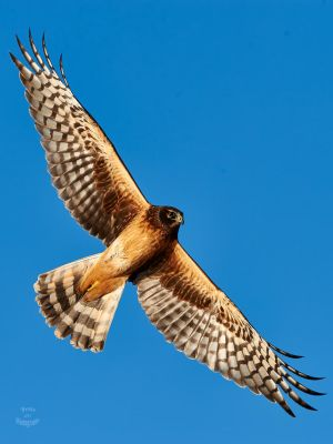 Northern Harrier-Wings by JestePhotography