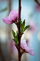 Nectarine Tree Flower by Suinaliath