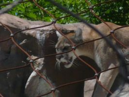 Zoo Animal: Cougar!!! by TopazBeats
