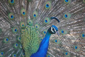 peacock 2 by Tyyourshoes