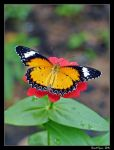 Tiger Butterfly 01 by DarthIndy