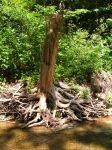 River Tree Roots by Rubyfire14-Stock