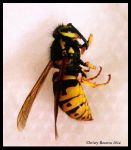 Yellow Jacket Wasp by ChristyReserva