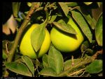 Two oranges by delbarital