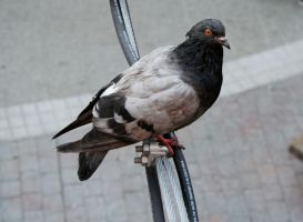 Pigeon by Toefje-Kunst