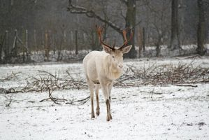 White deer on white ground by BetaDraconis