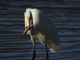 Great Egret With A Nice Fish by Glacierman54