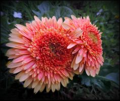 Yellow and Pink Gerberas by JocelyneR