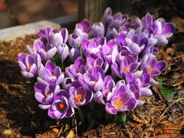 The Crocuses say spring is coming by davincipoppalag