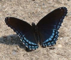 butterfly in the driveway. by xyr