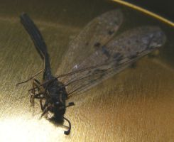 Dead dragonfly by AndrewMcCory