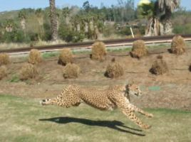 Cheetah Run by Half-N-Half