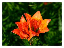 Lots of Orange by Lasu
