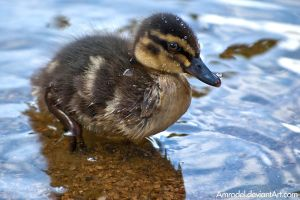 Little Duck by amrodel