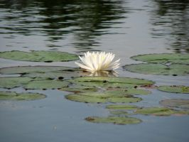 Lily Pad Stock 5 by Moonchilde-Stock