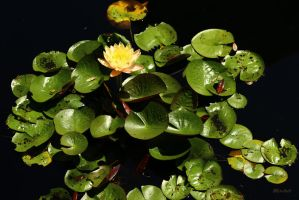 Water Lily Series  4300 by Doumanis