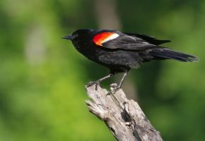 Redwinged Blackbird Male by barcon53