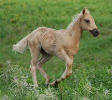 Palomino Filly Run by SalsolaStock