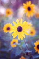 Sunflower by CandiceSmithPhoto