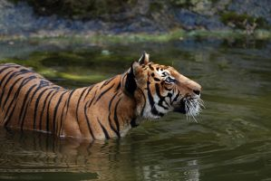 Tiger Water 4 by robbobert