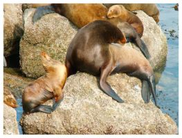 Sea lions by jeepgurl8204
