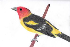 Western Tanager by NAC1999