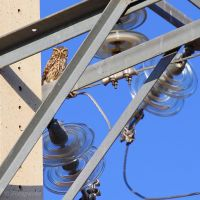 Electricity pylon as little owls watchtower by Jorapache