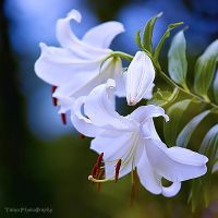 Lily by WindyLife