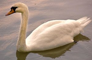 Mute Swan 1 by andy1349