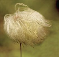 Hairy Clematis Head by whimsicalworks