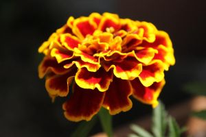 Flameflower by ozkc1