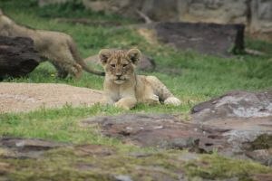 Lion Cub by awheeler7