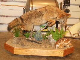 Coyote after fawn taxidermy mount by NCIS2013
