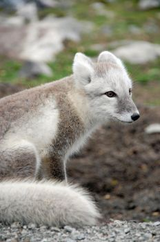 Arctic fox stock 8 by GrayeyesStock