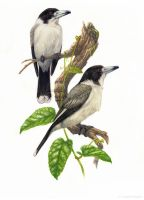 Butcherbirds by YemaYema