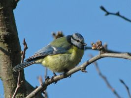 Blue tit in blue sky by Momotte2