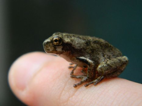 Finger Frog by AaronofShadowpack